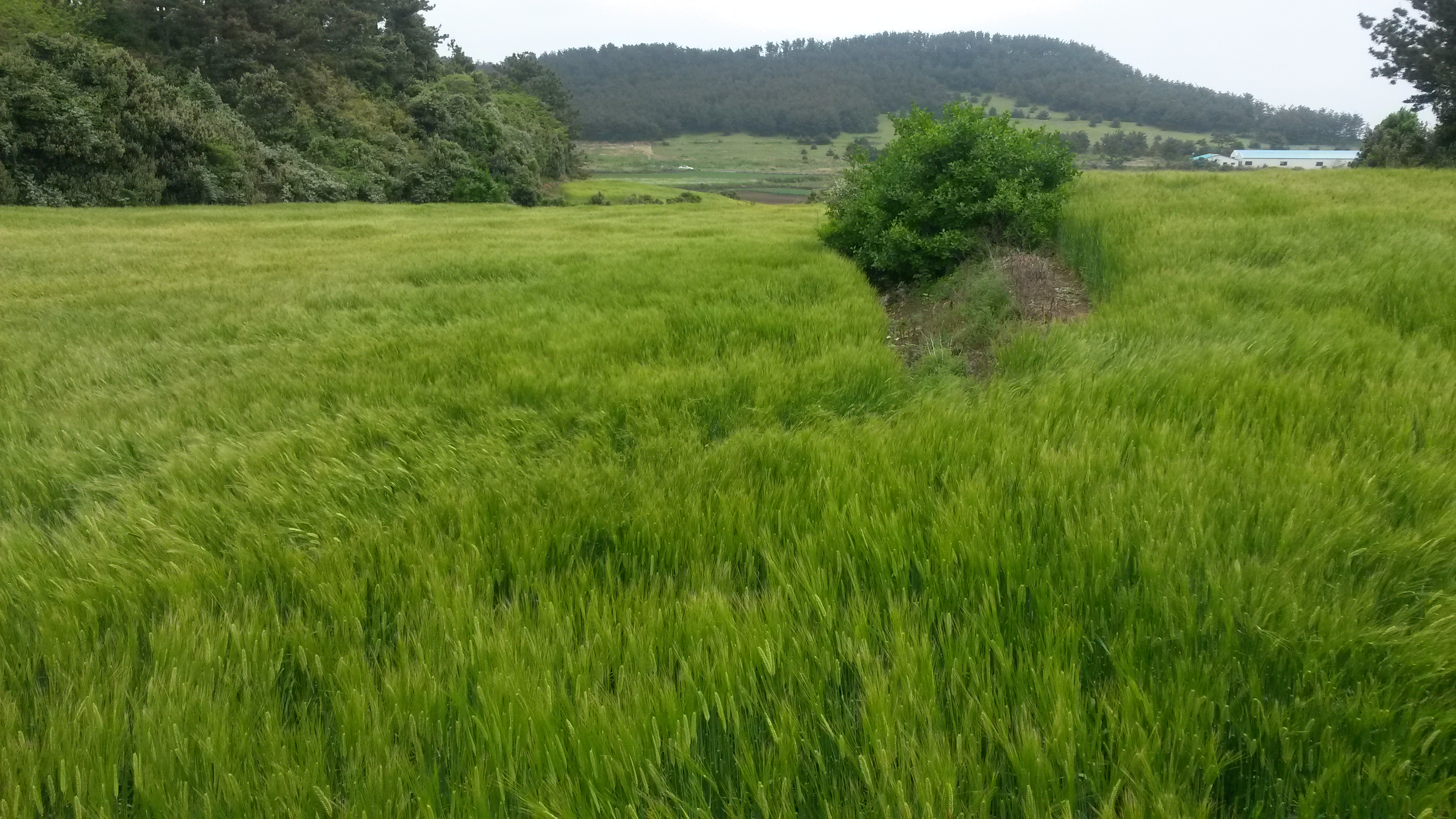 Barley fields along the West Coast