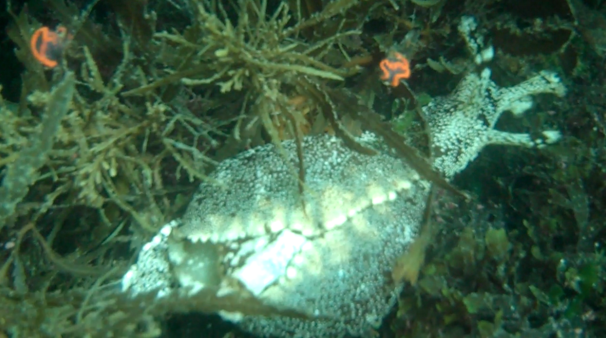 Sea hares, in adult and infant form
