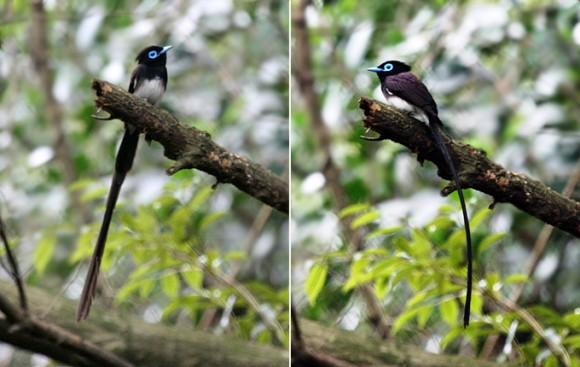 Black Paradise Flycatcher (Terpsiphone atrocaudata). Photo by Matt Poll on birdskoreablog.org.