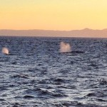 Gray Whales at Sunset